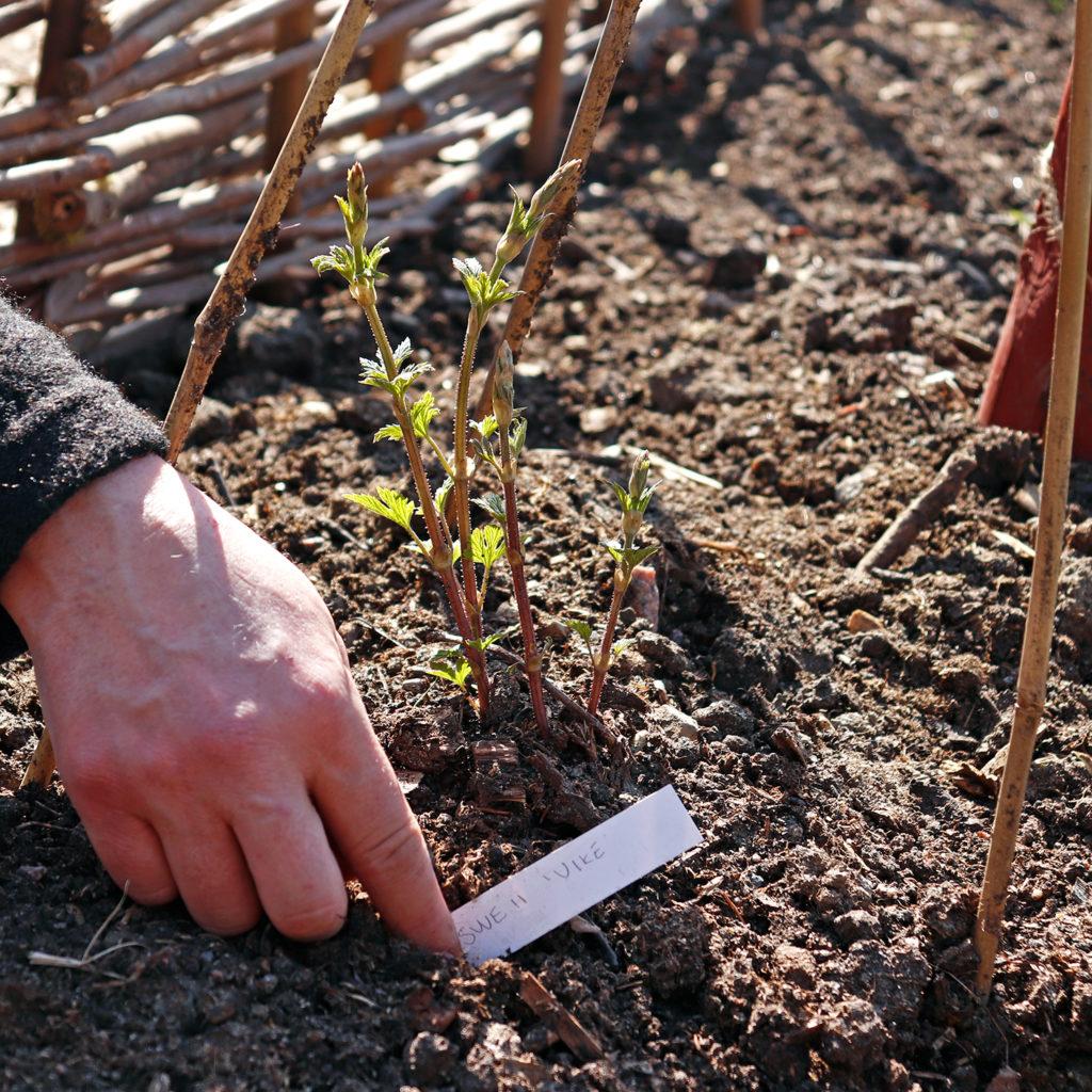 """En nyplanterad humleplanta av sorten """"SWE 11 Vike""""."""