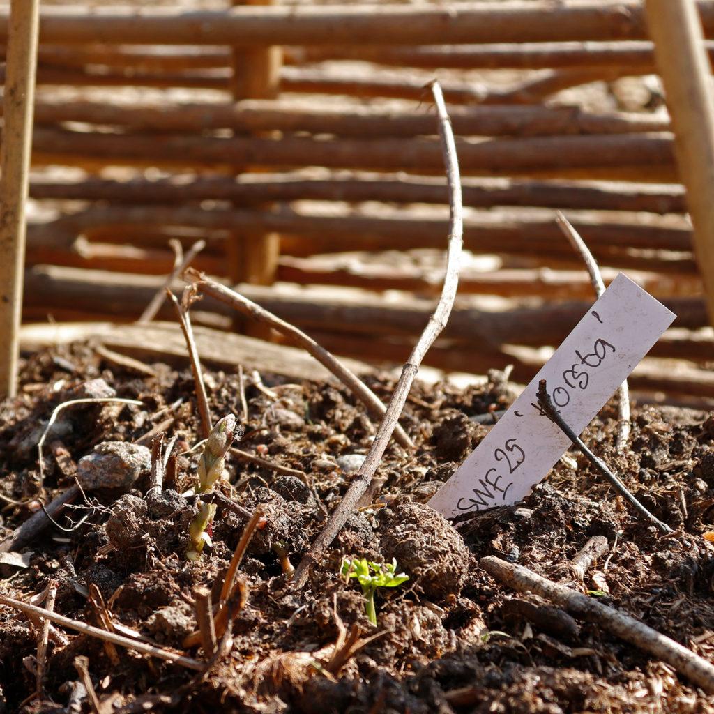 """Närbild av en humleplanta med en lapp bredvid med texten SWE 25 """"Korsta"""""""