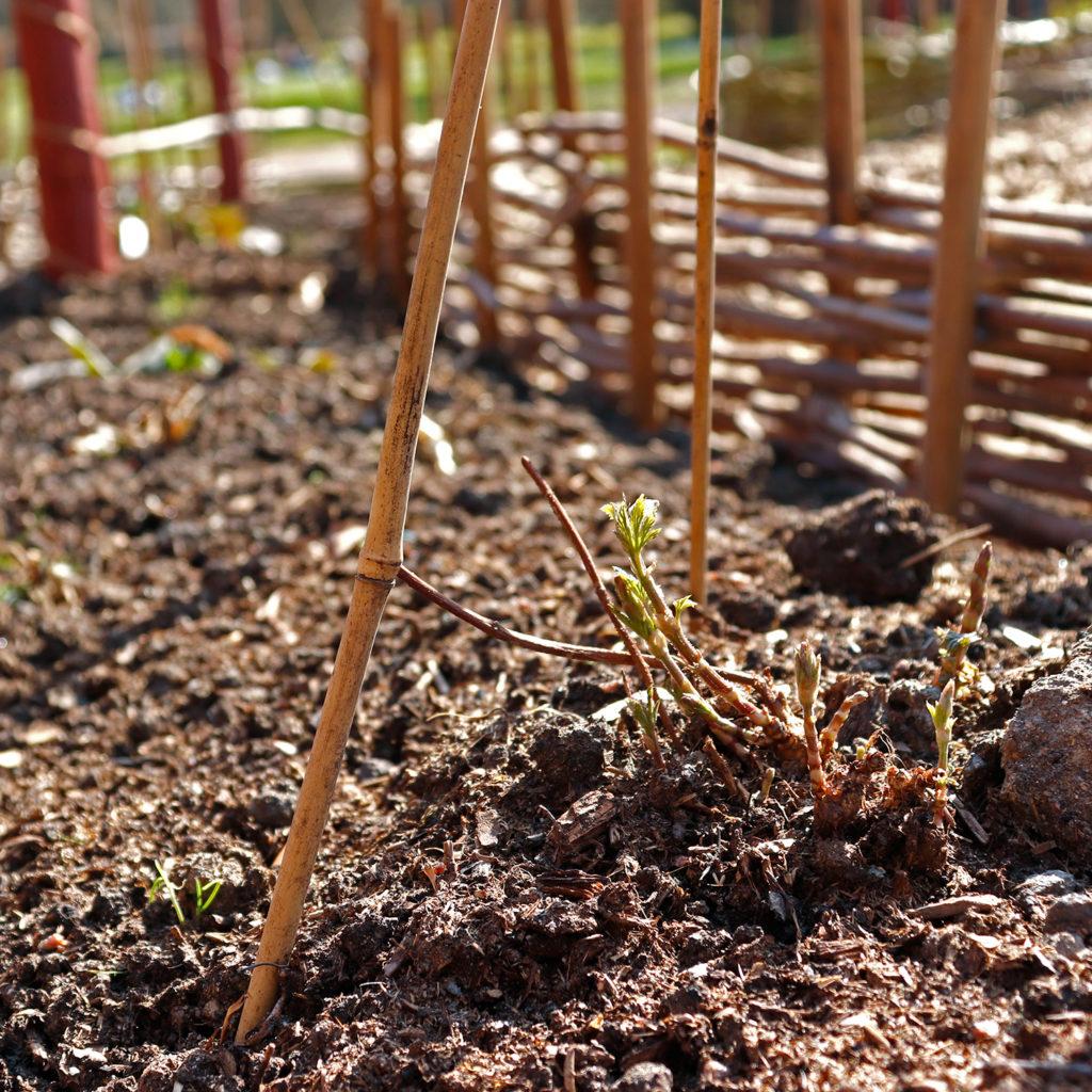 Närbild av en humleplanta i en rabatt.